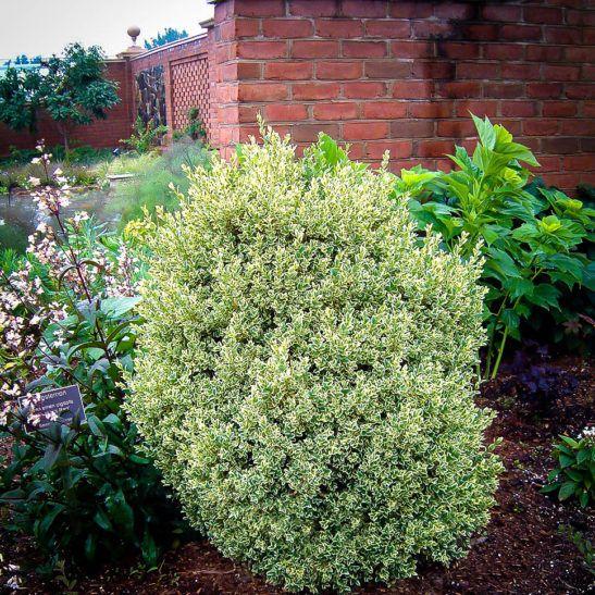 Variegated Boxwood Boxwood landscaping, Front yard