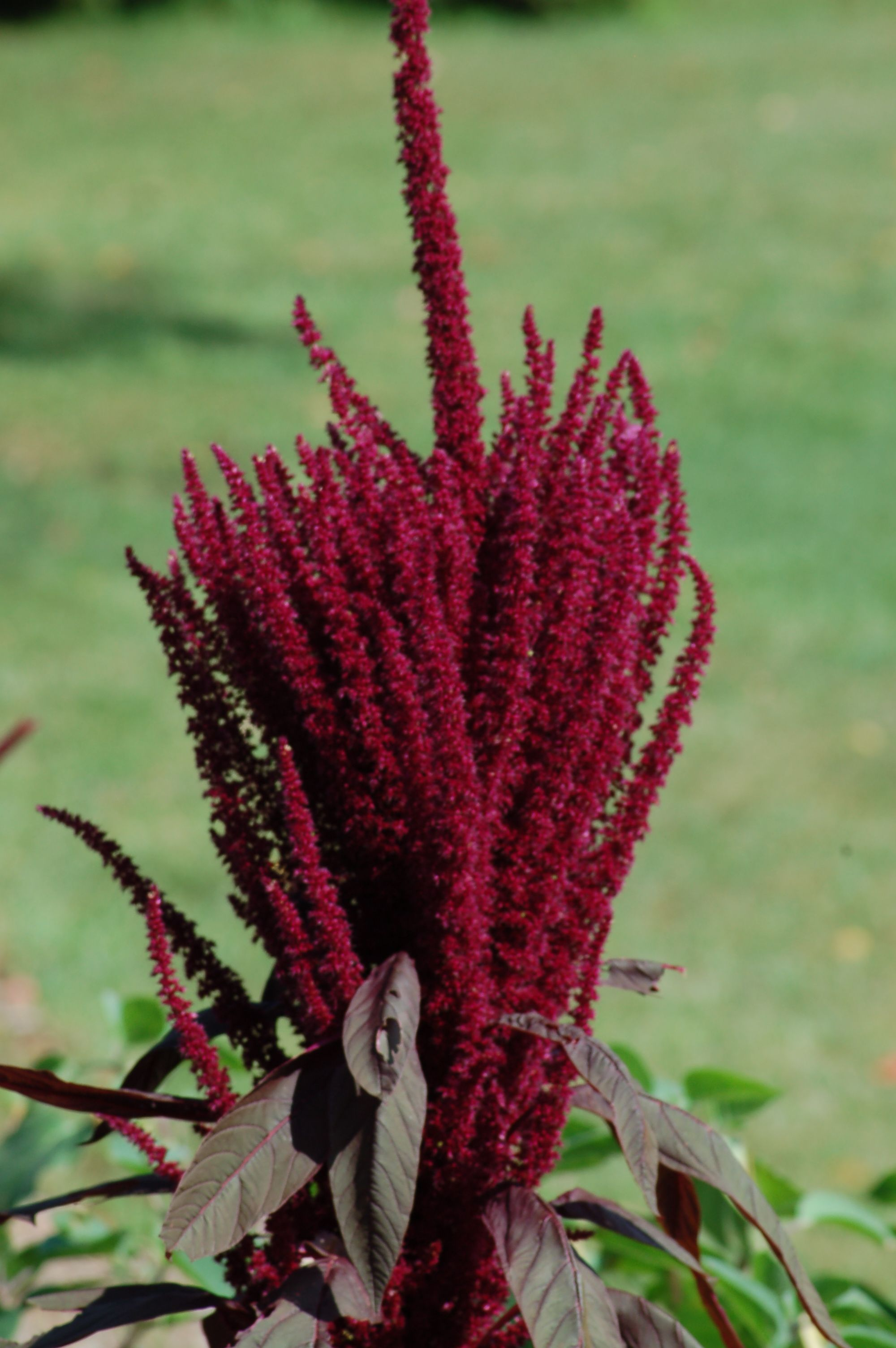 Whats the difference between annual plants and perennials amaranth is an annual plant the long strands of reddish purple flowers on this plant which is also a grain are striking especially since the plant is so izmirmasajfo