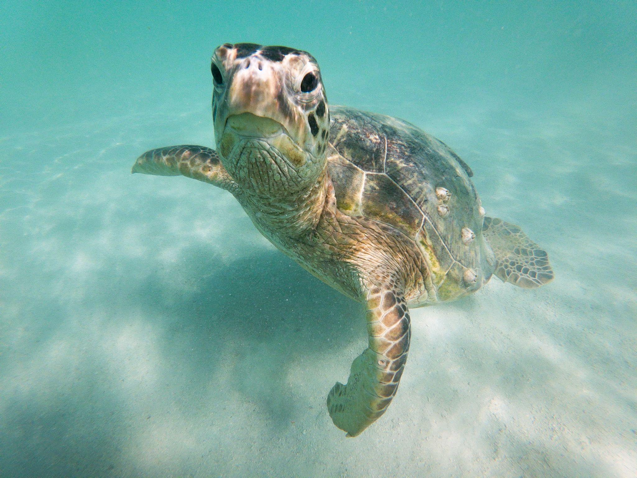 カメラ目線のサービスショット Captainbruce Sandbar Kaneohe Hawaii Oahu Ocean キャプテンブルース 天国の海 サンドバー ハワイ大好き 景色 海 ウミガメ 亀と泳ぐ Honu Seatur かわいいカメ ウミガメ ペンギン かわいい