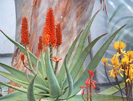 Aloe Ferox Cape Aloe Plants Cacti And Succulents Dry Garden