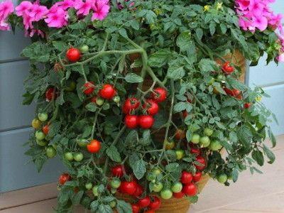 Tumbling Tom Red Patio Tomato