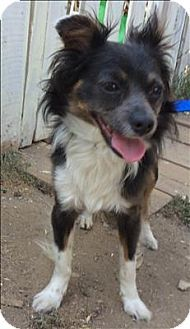 Pictures Of Demetrius A Chihuahua Australian Shepherd Mix For