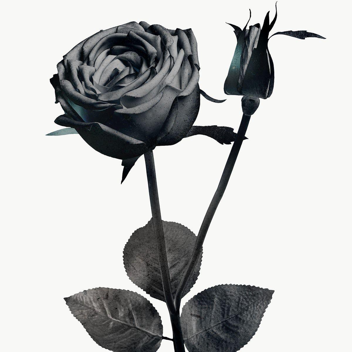 Monotone Blooming Rose Design Element Free Image By Rawpixel Com Adj In 2020 Rose Illustration Blooming Rose Rose Art