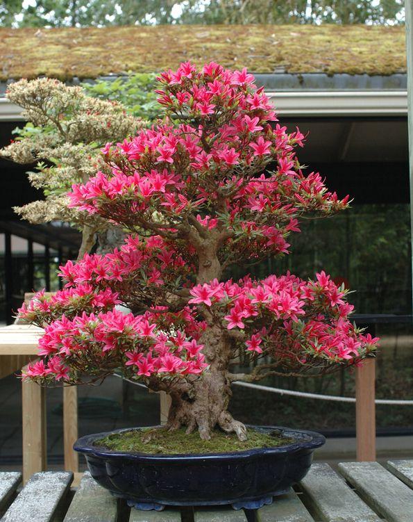parlons bonsai azalees satsuki bonsai jardi. Black Bedroom Furniture Sets. Home Design Ideas