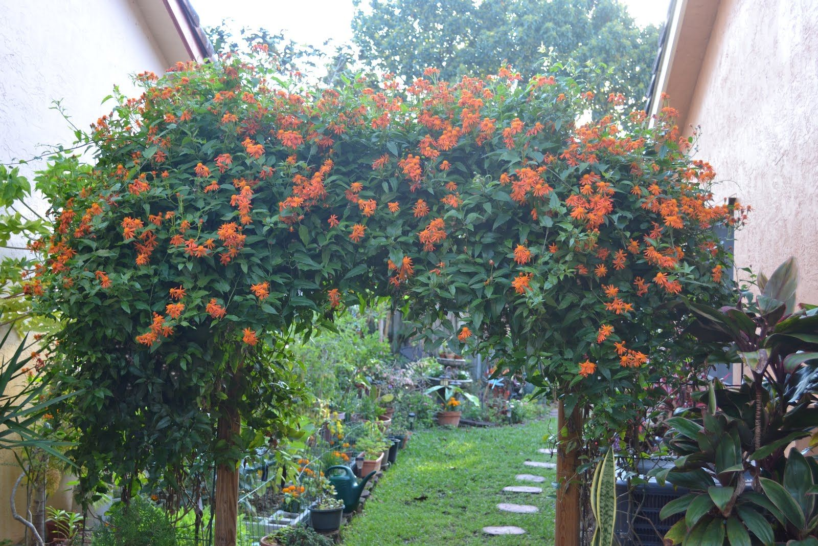 Mexican Flame Vine Google Search Concrete leaves