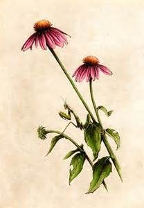 Coneflower Tattoo Yahoo Image Search Results Vintage Floral Tattoos Floral Tattoo Sleeve Botanical Illustration
