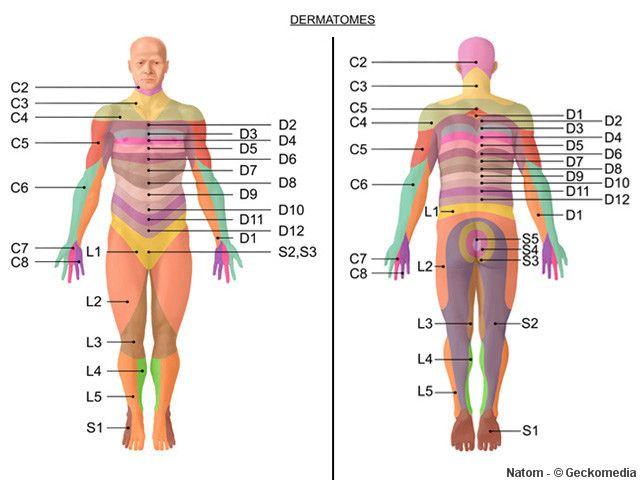 Dermatomes  Myotomes - Google Search Rehab Pinterest
