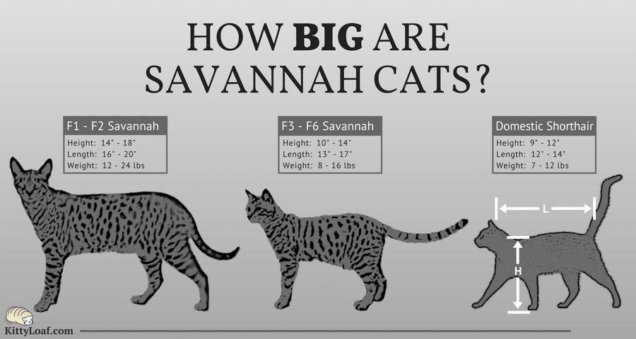 How Big Are Savannah Cats F1 F2 F3 F6 Is A Biogenetic Term For Filial Generations How Many Times They Have Been Br Savannah Cat Savannah Chat Cat Breeds