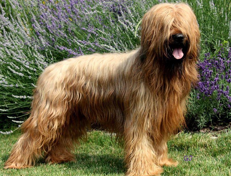 Pin By Oliwia Wawryniuk On Dogs Dog Breeds Briard Briard Dog