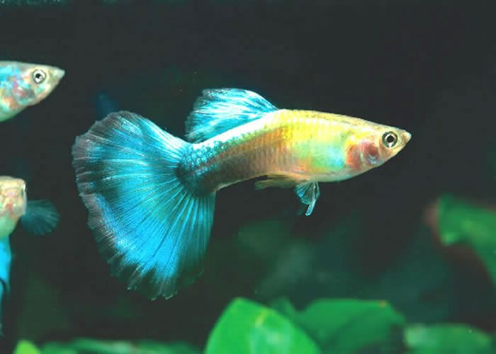 Bue Glass Guppy Cold Water