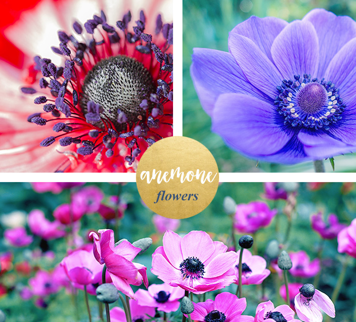 Anemone Flower Google Search Anemone Flower Anemone Flower Meanings