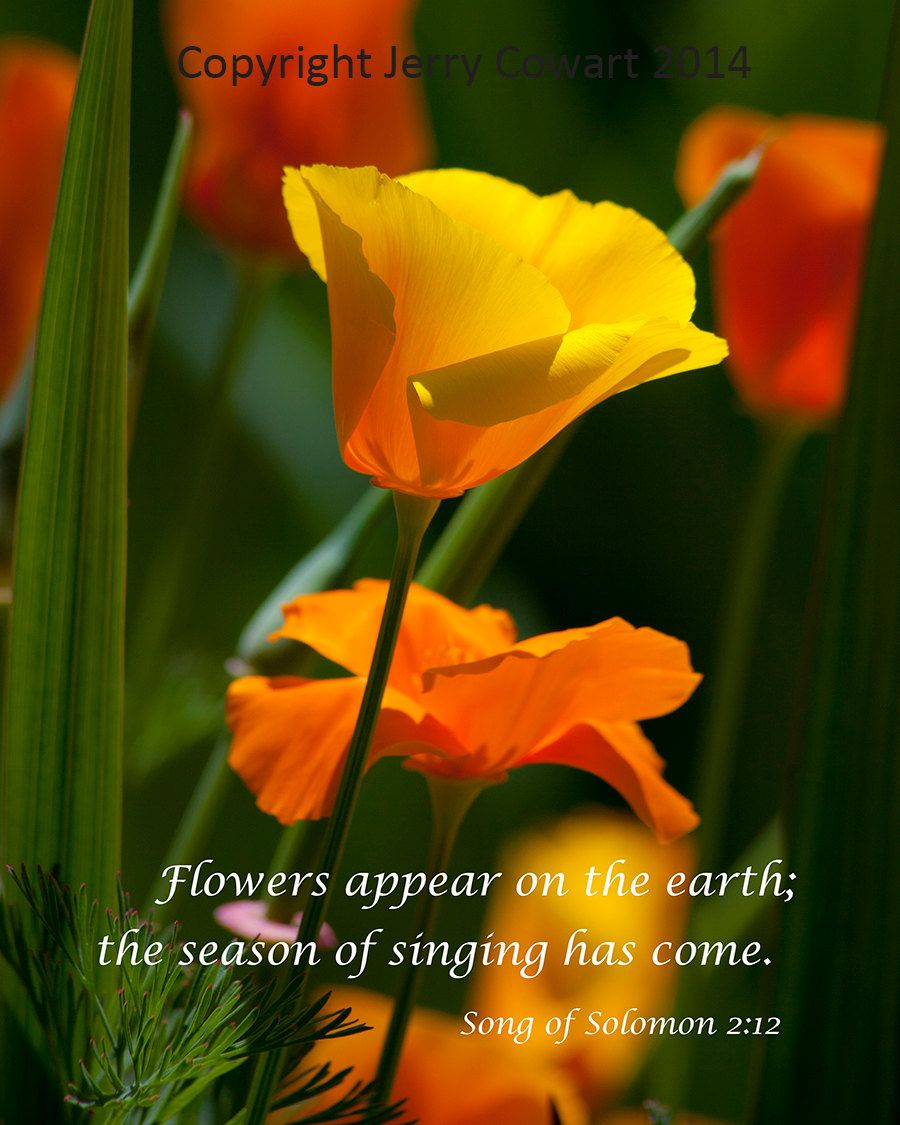 Jerry Just Listed Bright Golden Poppy Flower Bible Verse Photography