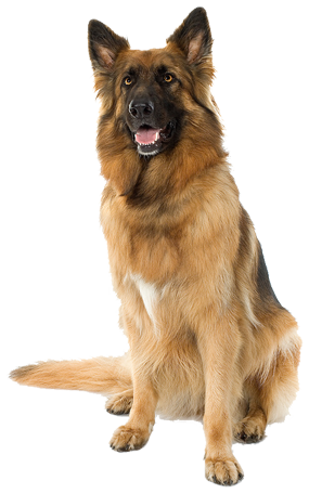 This Photo Shows A Sitting Dog Looking At The Camera Dog Background Blue Background Images Love Background Images