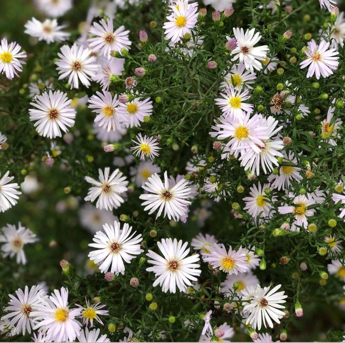 White Aster Flower In 2020 Aster Flower Buy Flowers Online White Flowers