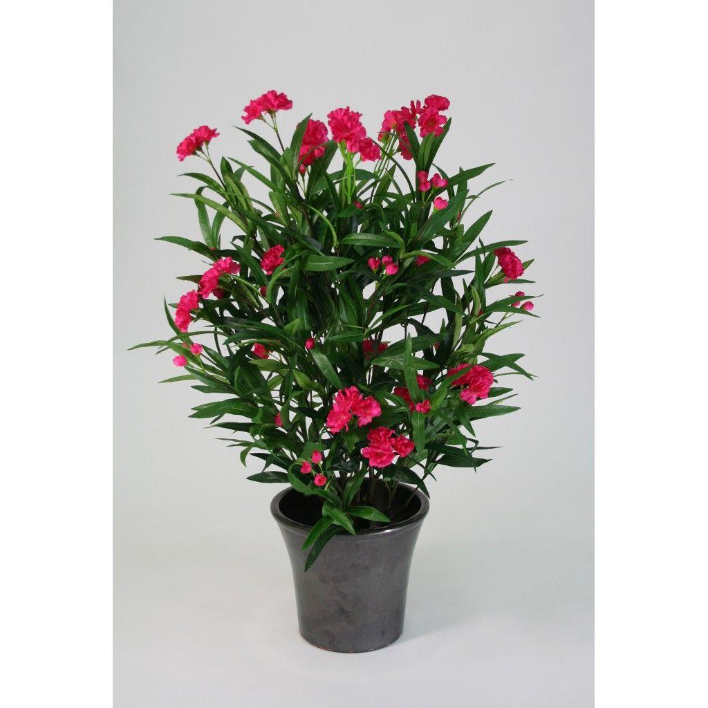 Laurier rose pour tous les animaux la plante est extr mement toxique des feuilles au tronc et - Laurier rose feuilles seches ...