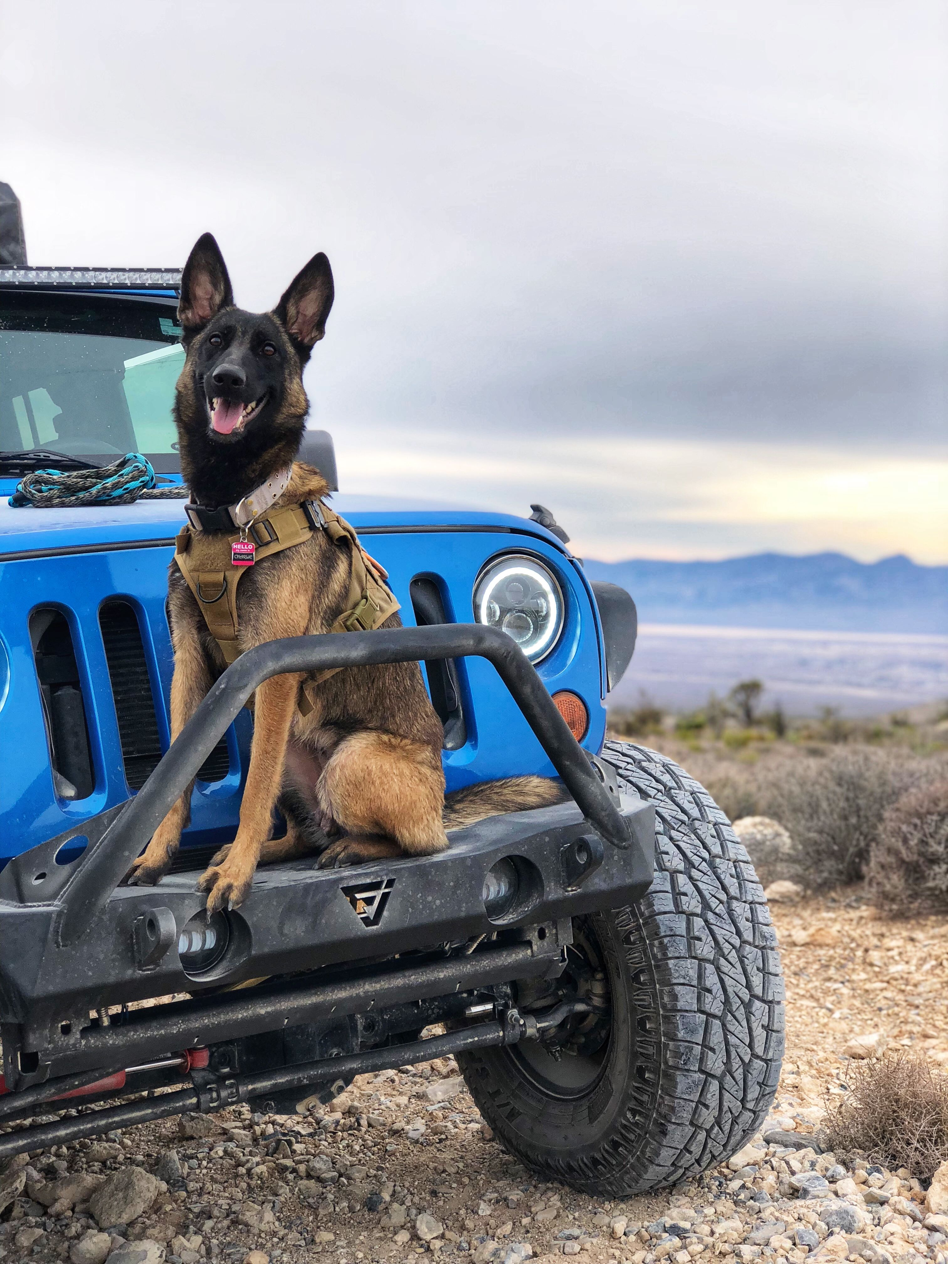 Belgian Malinois With A Hydro Blue Jeep Wrangler Jeep Dogs Blue