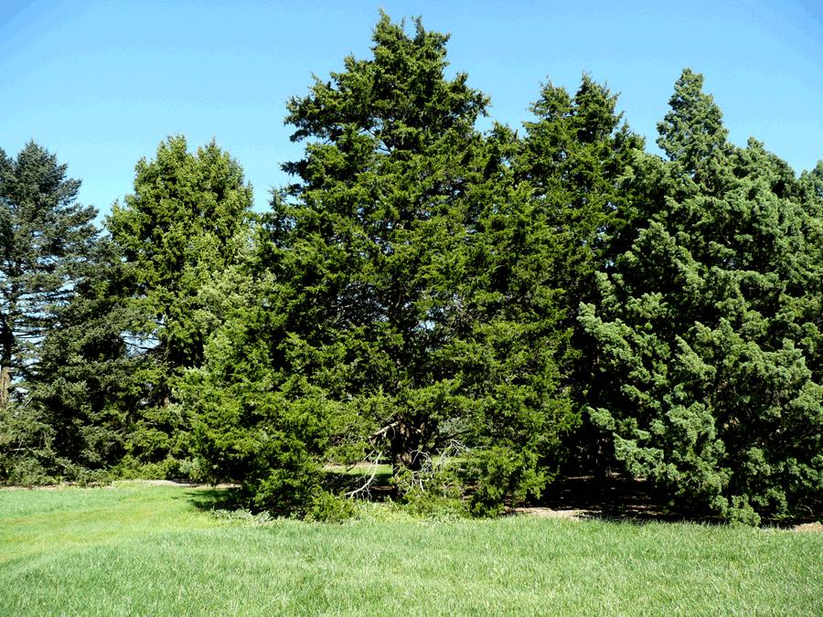 Eastern red cedar tree photo gallery river falls outdoor