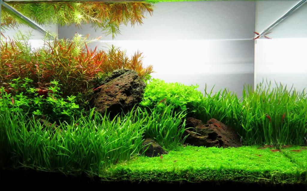 Ada mini m iwagumi red cherry shrimp aquascape for Ada fish tank