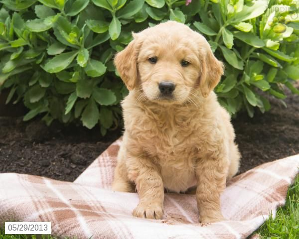 Nathan Golden Retriever Puppy For Sale In Belleville Pa