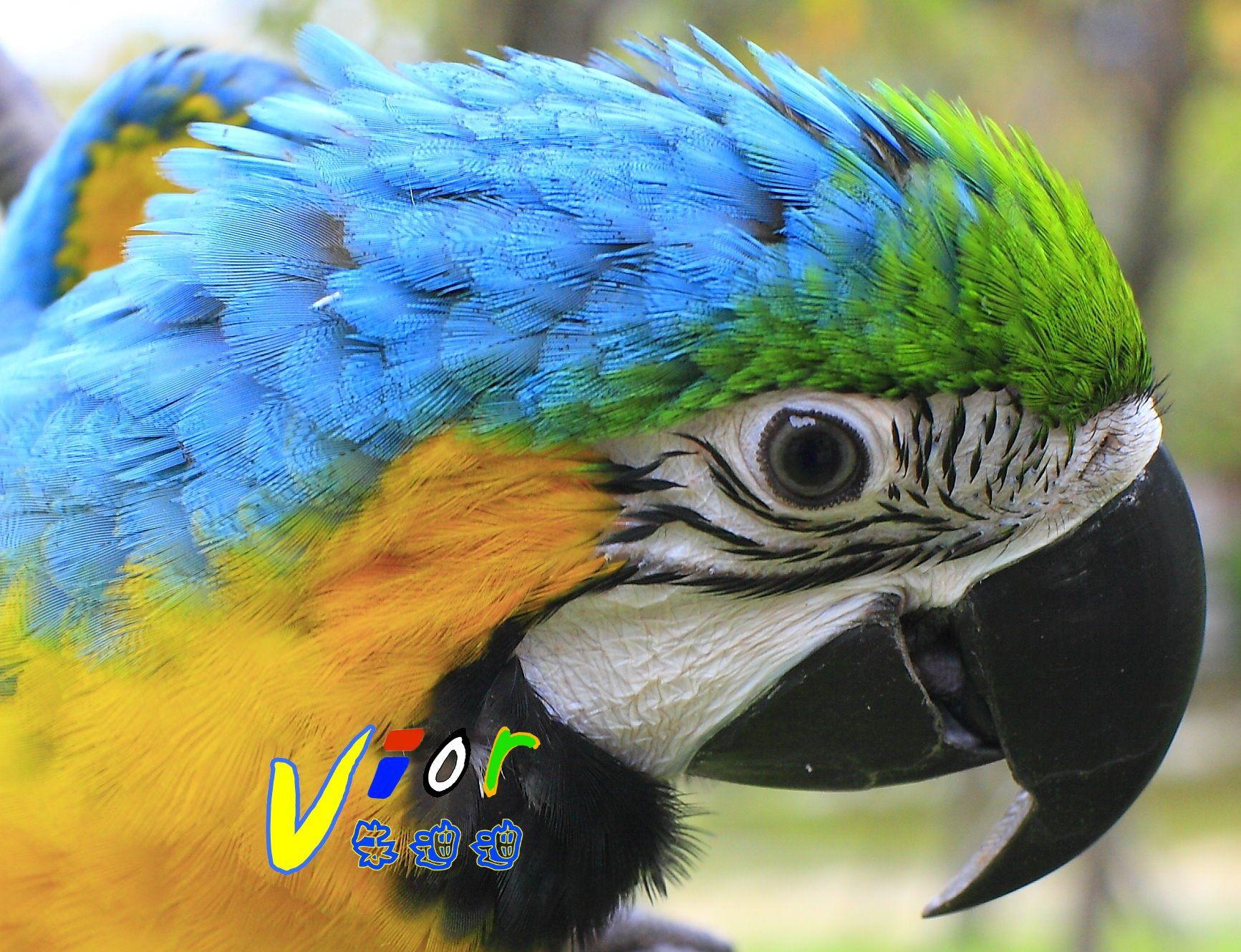 Blue and Gold Macaw VIOR(Parrot Vior)琉璃金剛鸚鵡 朱迪迪 | Animals, Macaw, Parrot