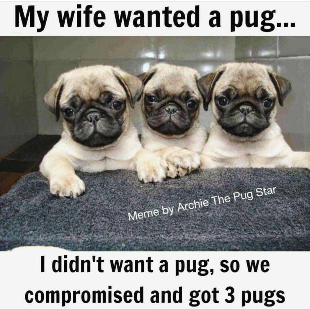 Adiemtocarpe Insert Caption Here Pugs Cute Pugs Pug Pictures