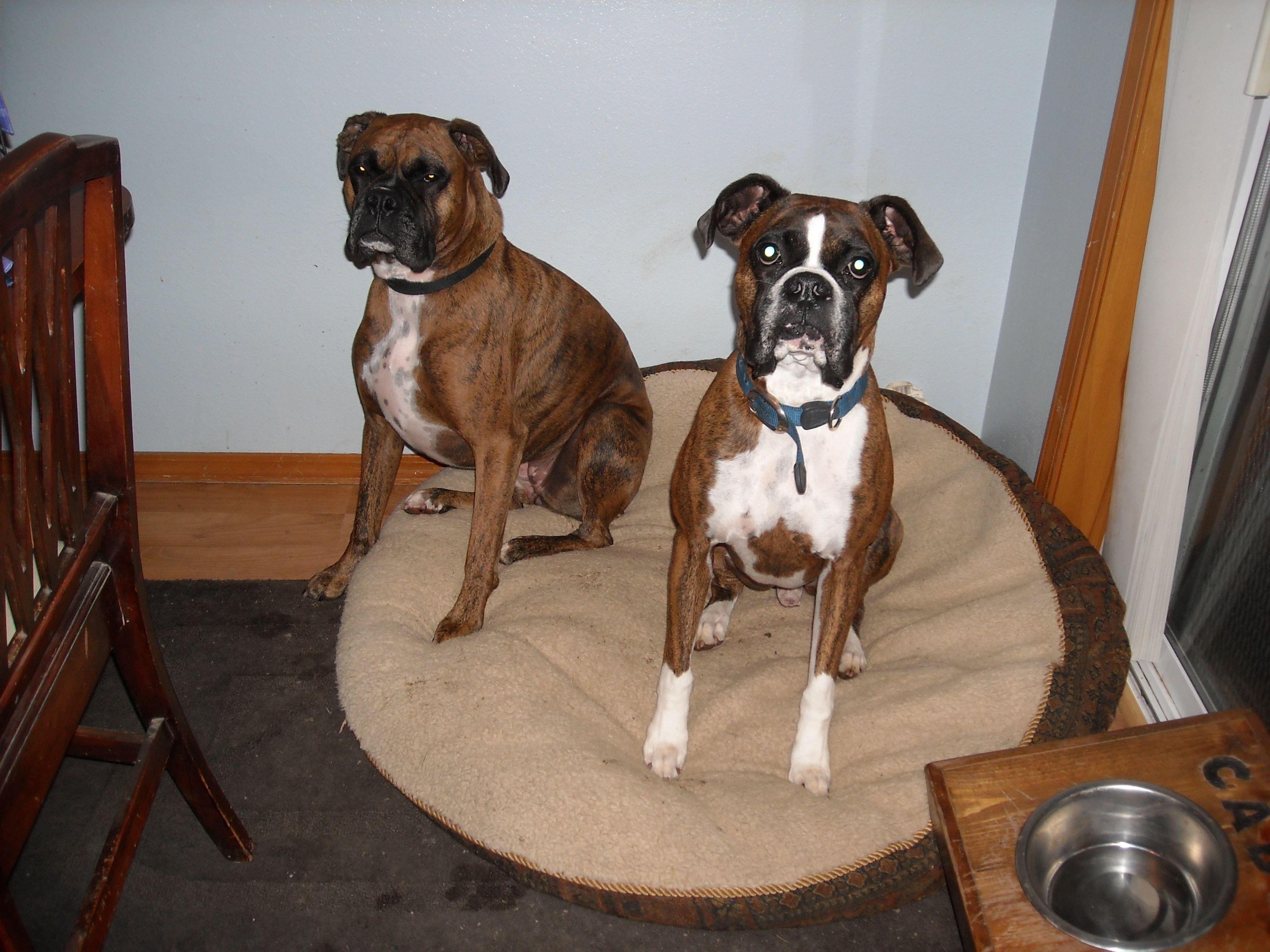 Boxer Babies Boxer dogs, Boxer love, Boxer