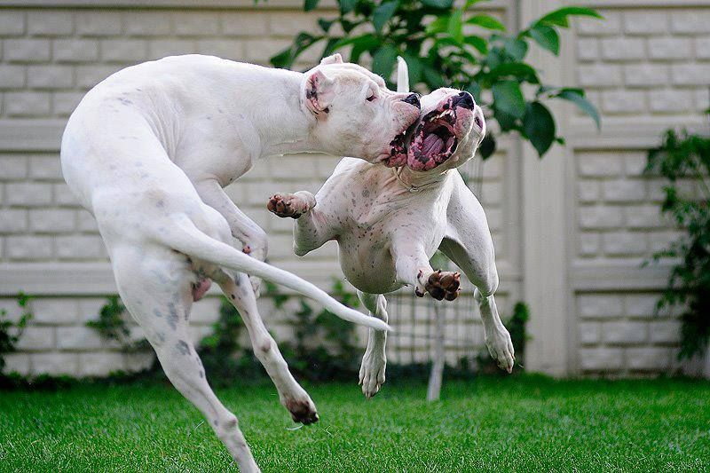 Dogo Argentino Dogs Puppies Dogs And Puppies