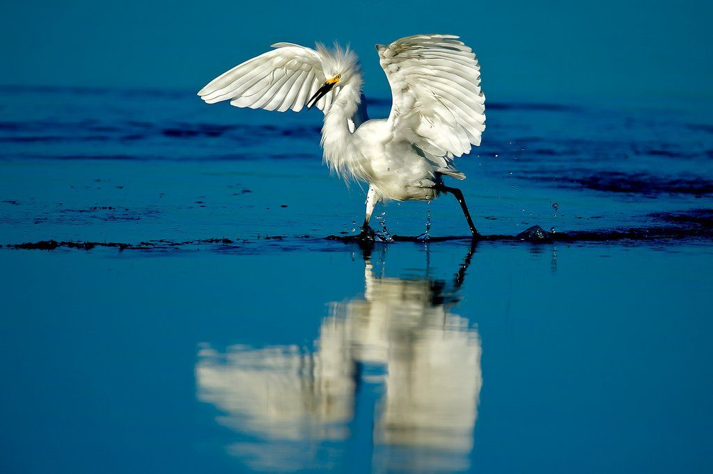 Piclogy: Snowy Egret California | Photography by howardignatius https://t.co/tZbrBRzA2Y https://t.co/goAPrWXKqy #OurCam #Photography #OurCam #Photography