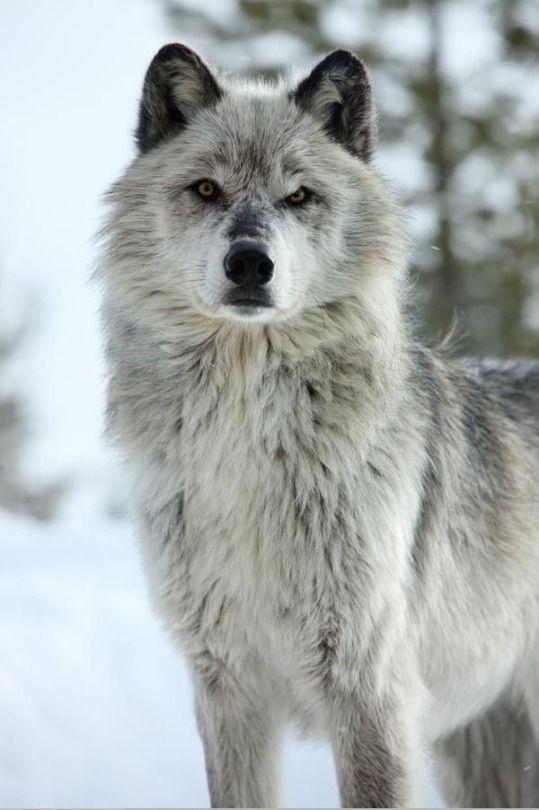 Wolf Cao Lobo Fotos De Lobos Animais Selvagens