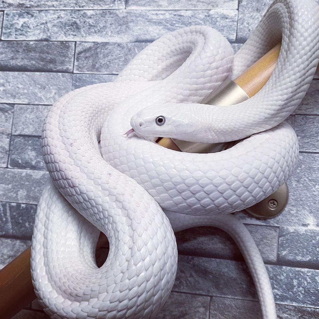 大蛇lounge On Instagram Texasrattlesnake Ratsnake Snake Python Reptile 大蛇lounge ヘビ 蛇 白蛇 へび ヘビ へび 白蛇