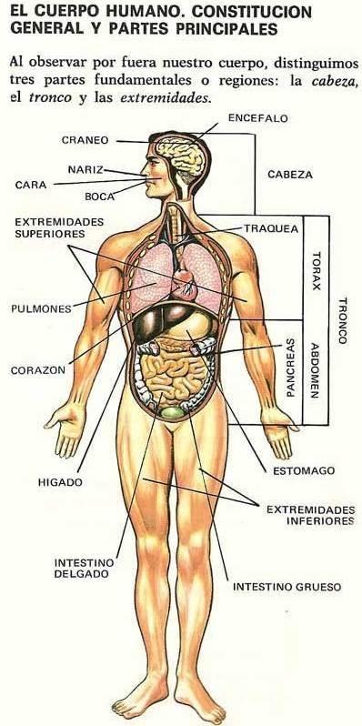 Cuerpo humano indicando sus 398 798 vocabulario pinterest espagnol et patios - Interior cuerpo humano organos ...