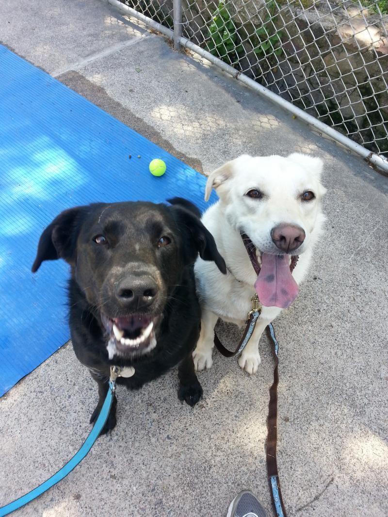 Adopt Mork and Mindy on Labrador retriever dog