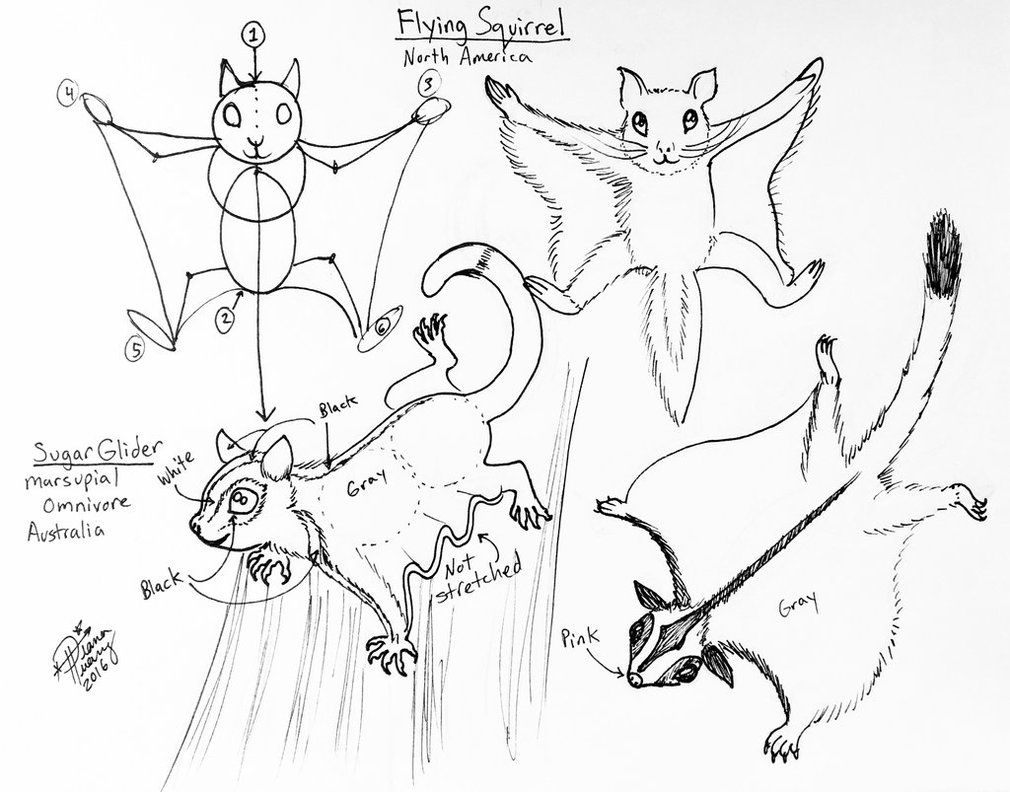 Draw Flying Squirrel And Sugar Glider By Diana Huang This Is A Good