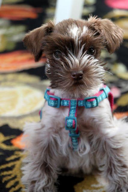 Meet Sara Schnauzer Puppy White Miniature Schnauzer Dogs