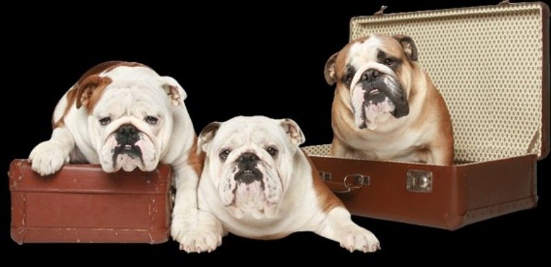 The English Bulldog Puppies Available Online At Wb English