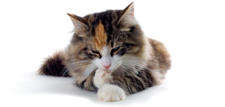 Blogi kissoilla on sisäsyntyinen tarve huolehtia jalkaterveydestään