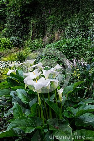 Zantedeschia, also known as calla lily, flowering in a shady woodland garden with hostas and ivy.