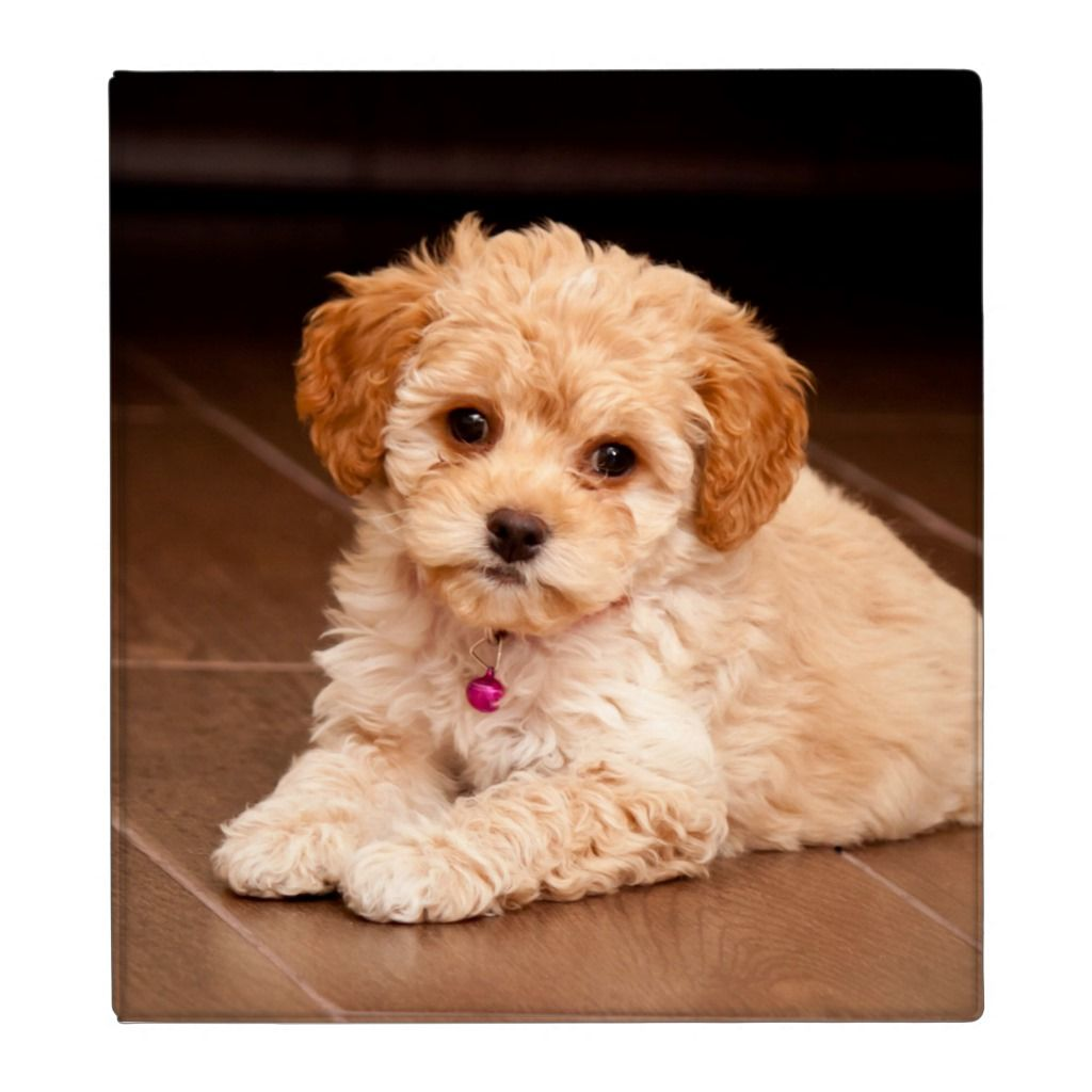 Baby Maltese Poodle Mix Or Maltipoo Puppy Dog 3 Ring Binder