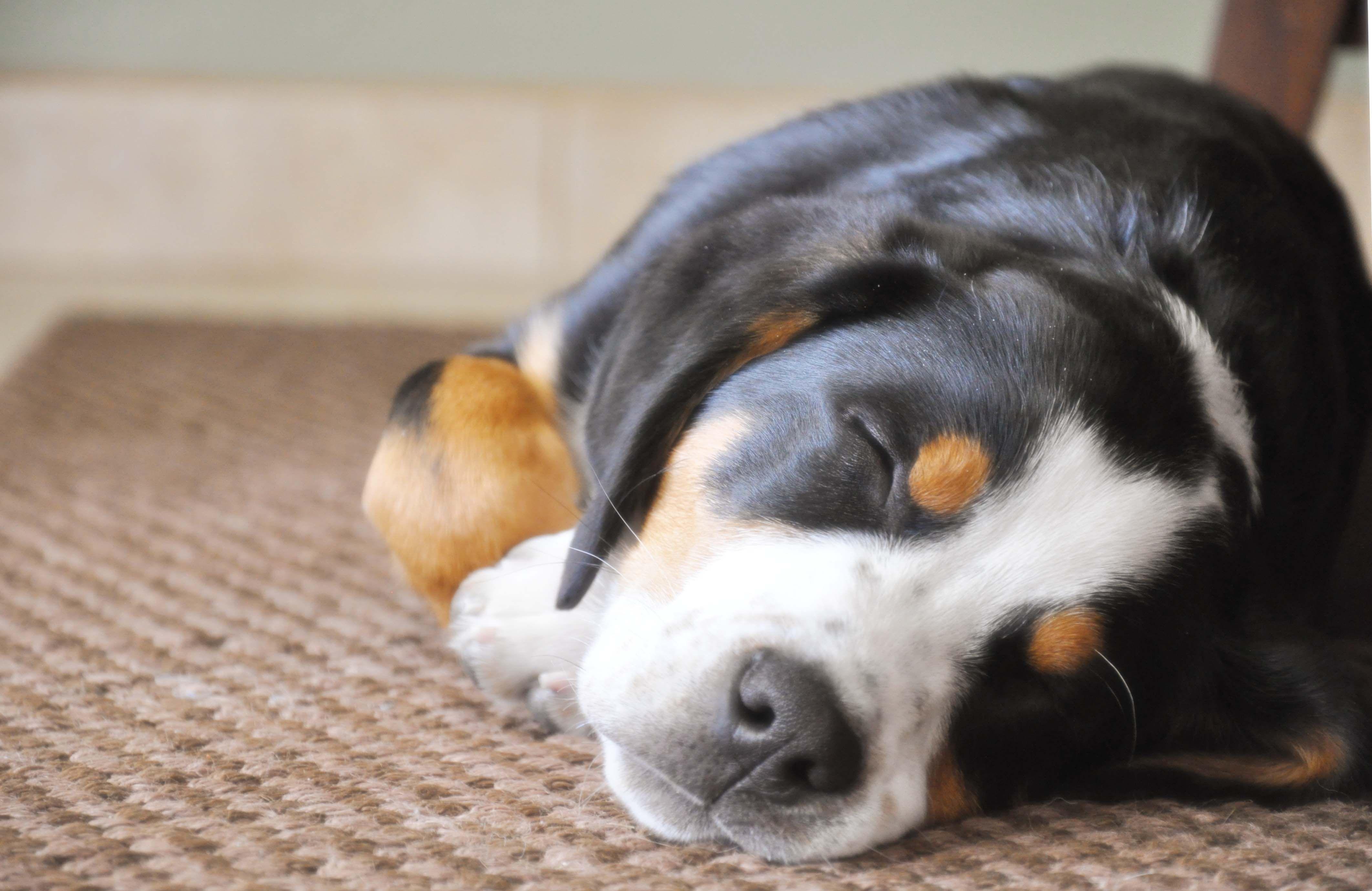 Sweet Hank, asleep...He's our Greater Swiss Mountain Dog ...