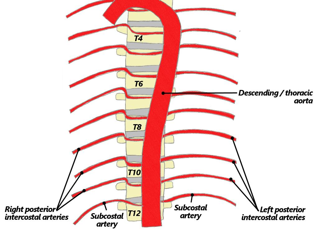 441 Arteries That Travel Inferiorly Descending Aorta Http