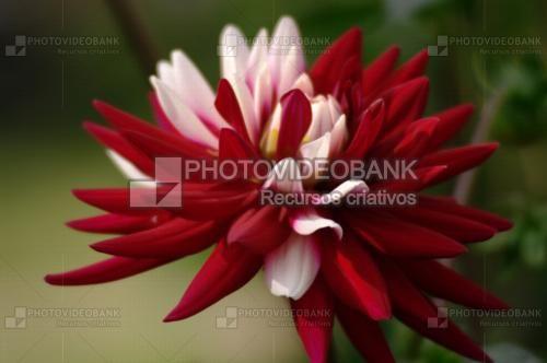 Duas cores | PHOTOVIDEOBANK Dália de duas cores linda flor no jardim com pétalas vermelhas e cor de rosa, imagem em close up by Udo Reitter