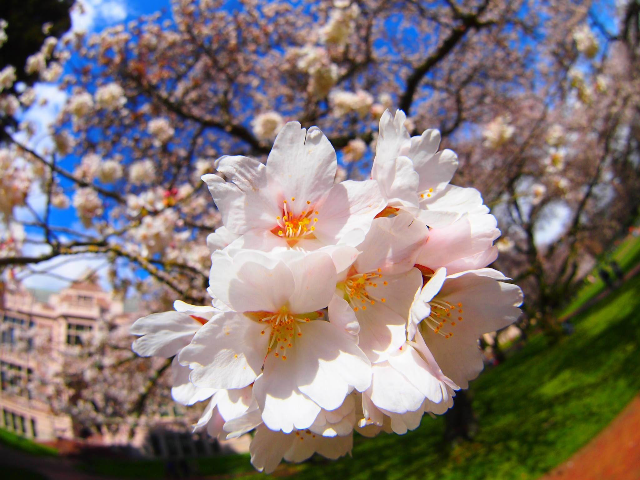Uw Cherry Blossoms Spring 2014 Photo By Nirupam Nigam Cherry Blossom Blossom Spring 2014