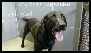 A16 734 Primary Breed Lab Secondary Breed Mix Gender Male Age