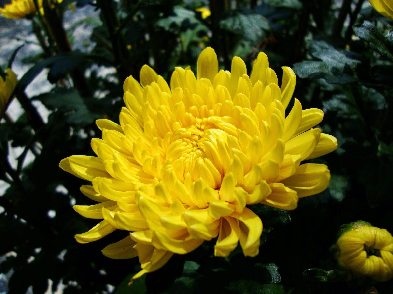 Flores y Árboles: Crisantemo