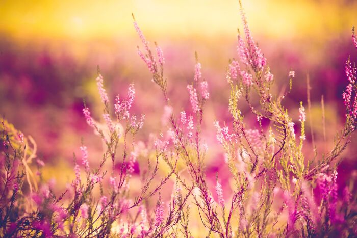 Heather Flowers Heather Flower Flower Quotes Flower Meanings
