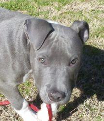 Adopt Justin On Petfinder Pitbull Terrier Pitbulls Bull Terrier Dog