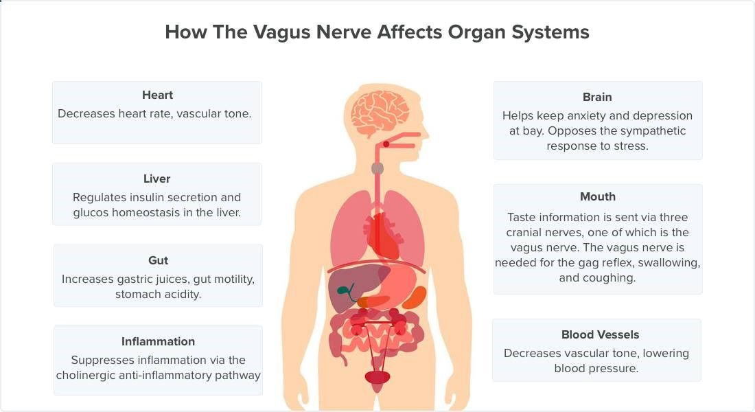 The vagus nerve reaches the brain, gut (intestines, stomach), heart ...