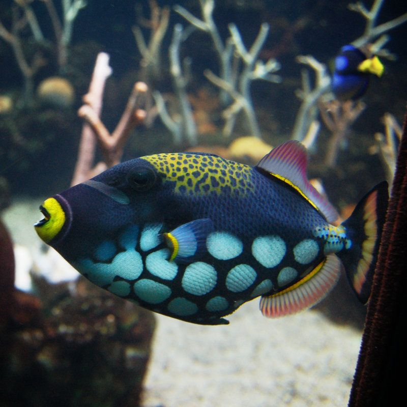 A Colorful Spotted Trigger Fish In The Seattle Aquarium Download The Image For Its Full Size Rule Saltwater Aquarium Fish Sea Fish Colorful Fish