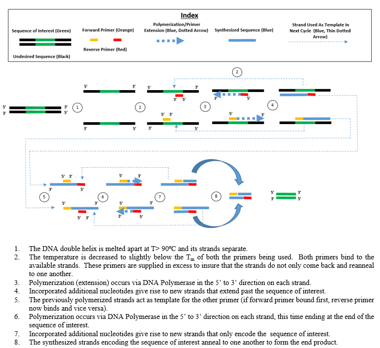 Tucker Pcr Polymerase Chain Reaction Wikipedia Chain Reaction Traveling By Yourself Running Course
