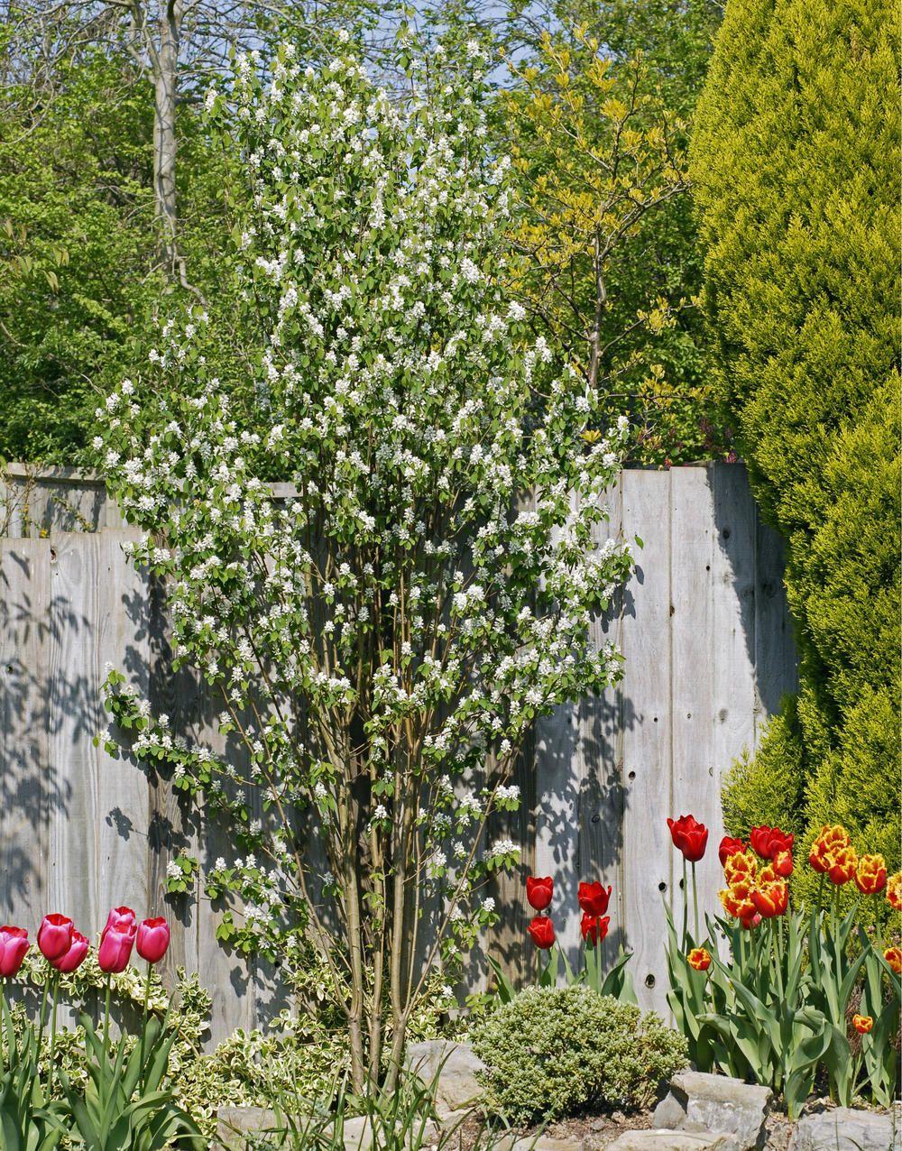 Saulen Felsenbirne Attraktives Platzsparwunder Straucher Garten Gartendesign Ideen Kleine Baume